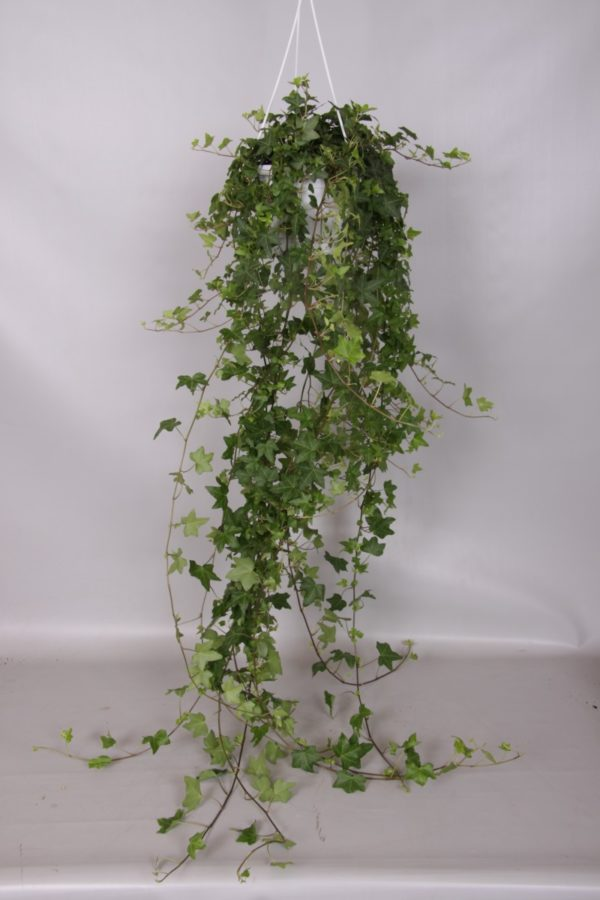 Hedera Pittsburgh Ivy