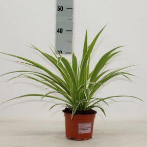 Chlorophytum comosum 'Ocean' (Spider Plant)