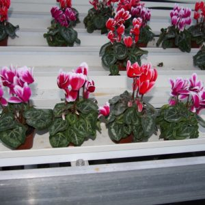 Cyclamen mini fantasia