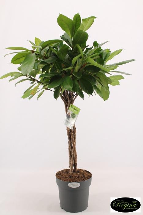 Ficus cyathistipula Braided Stem