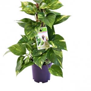 Epipremnum pinnatum (Scindapsus) in 15cm Pot With Mosspole