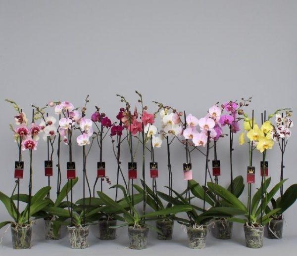 phalaenopsis grandiflora