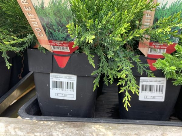 Juniperus media 'Mint Julep' 2