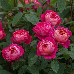 David Austin Rose Benjamin Britten