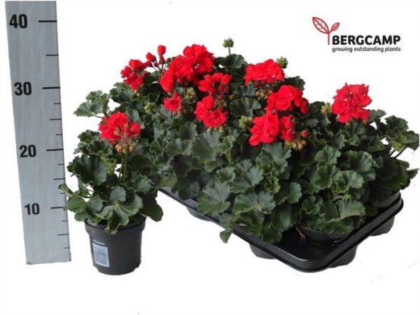 Pelargonium zonale dark red