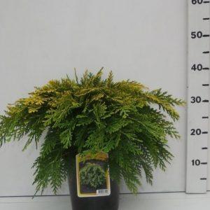 Lawsons Cypress Sunkist