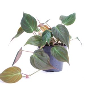 Philodendron scandens 'Micans'