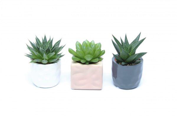 Succulent mix ceramic pots
