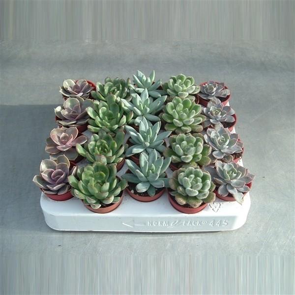 Echeveria mixed