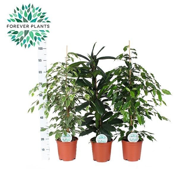 Ficus basic mix