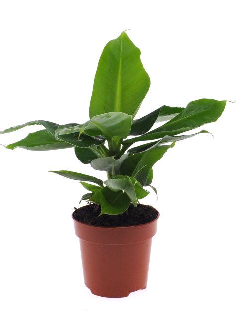 Musa acuminata Tropicana