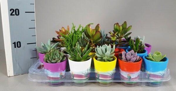 Succulent mixed mexico ceramic