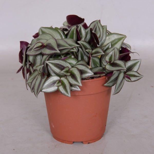 Tradescantia zebrina 'Violet'