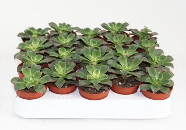 Aeonium tricolor