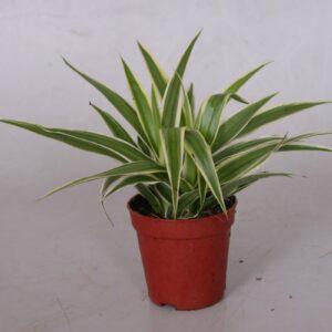 Chlorophytum comosum Ocean mini