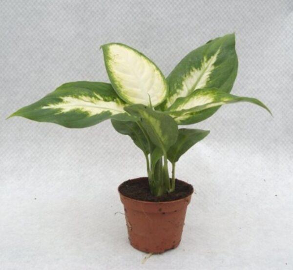 Dieffenbachia camilla mini