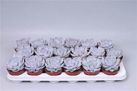 Echeveria riniony
