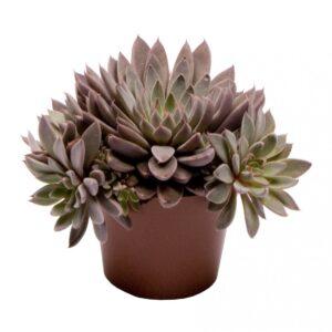 Echeveria rusby