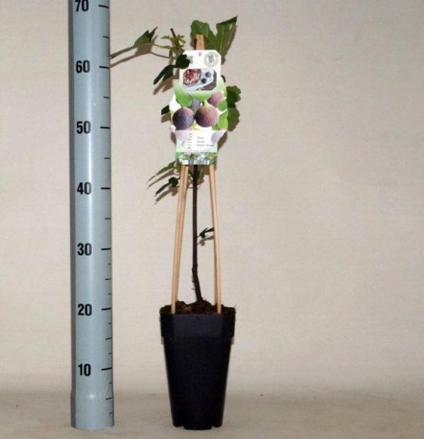 Ficus carica 'Brown Turkey' (Fig)