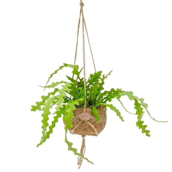 Kokodama Epiphyllum anguliger