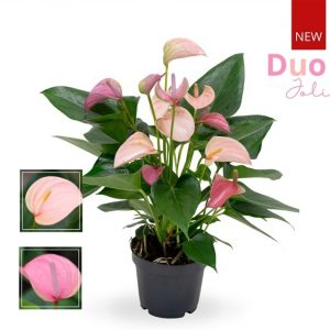 Anthurium 'Joli Duo' pink