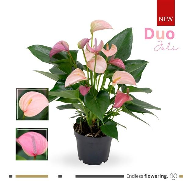 Anthurium 'Joli Duo' pink