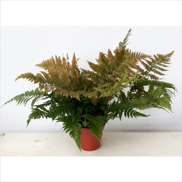 Dryopteris erythrosora (Japanese Shield Fern)