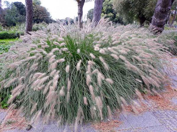 Pennisetum alopecuroides 'Hameln 2