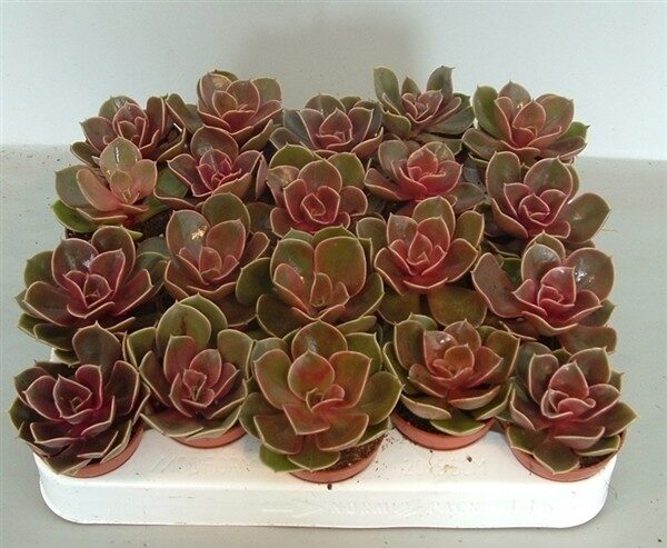 Echeveria 'Magic Red'