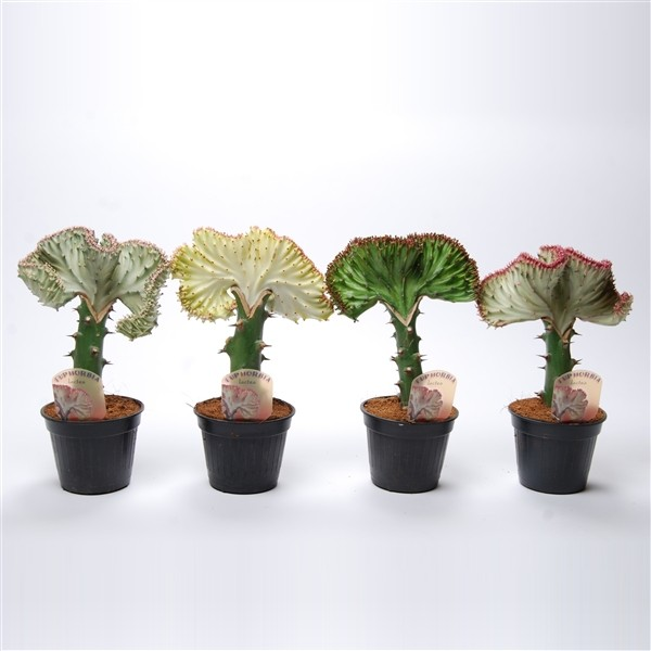 Euphorbia lactea mixed