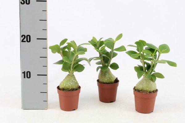 Hydnophytum papuanum (Ant Plant)