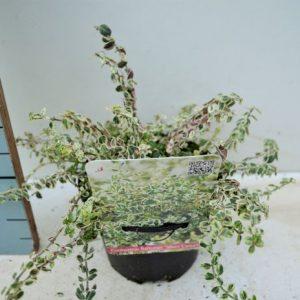 Euonymus fortunei 'Silver Carpet