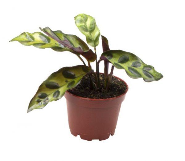 Calathea lancifolia / insignis (Rattlesnake Plant)
