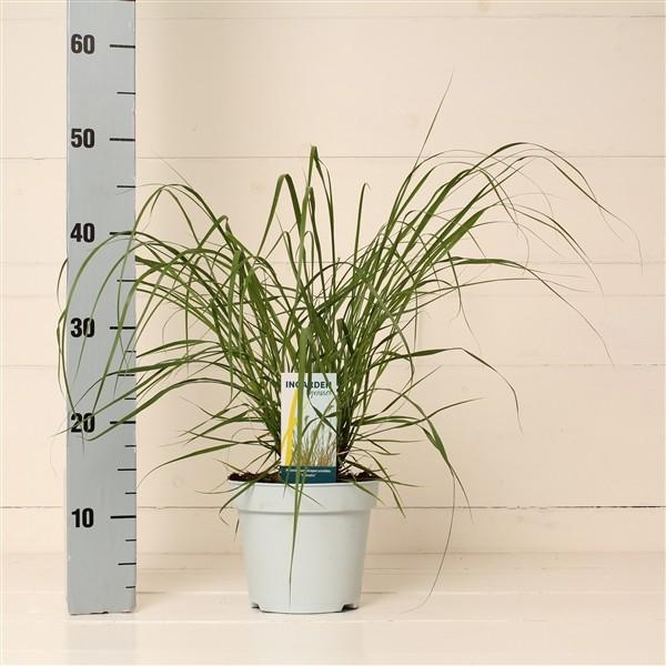 Pennisetum alopecuroides 'Hameln' (Fountain Grass)