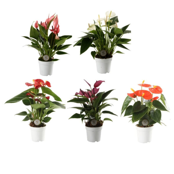 Anthurium royal champion mini mixed
