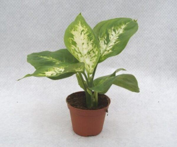 Dieffenbachia compacta mini