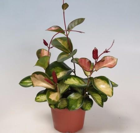 Hoya australis 'Bordvare Tricolour'