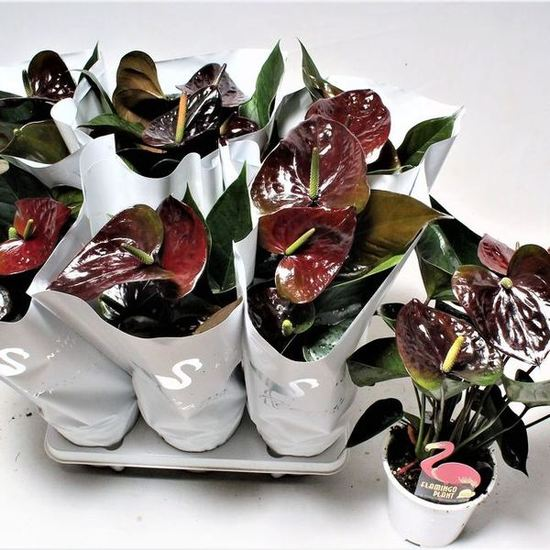 Anthurium andraeanum 'Paris Black'