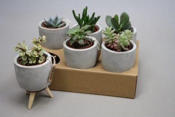 Succulent mixed varieties, in concrete pot on wooden legs