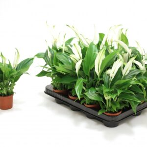 Spathiphyllum 'Pearl Cupido'