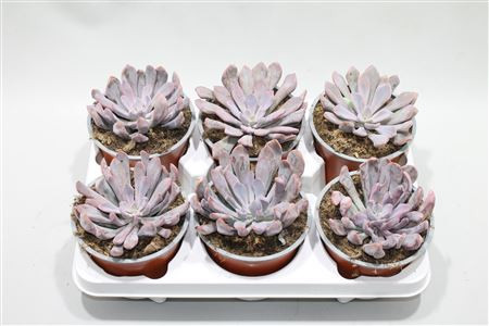 Graptoveria lilac spoons