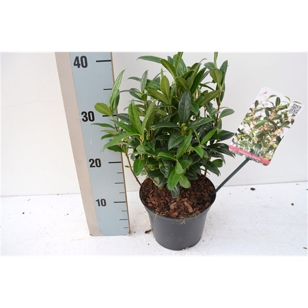 SARCOCOCCA IN 4 VARIETIES