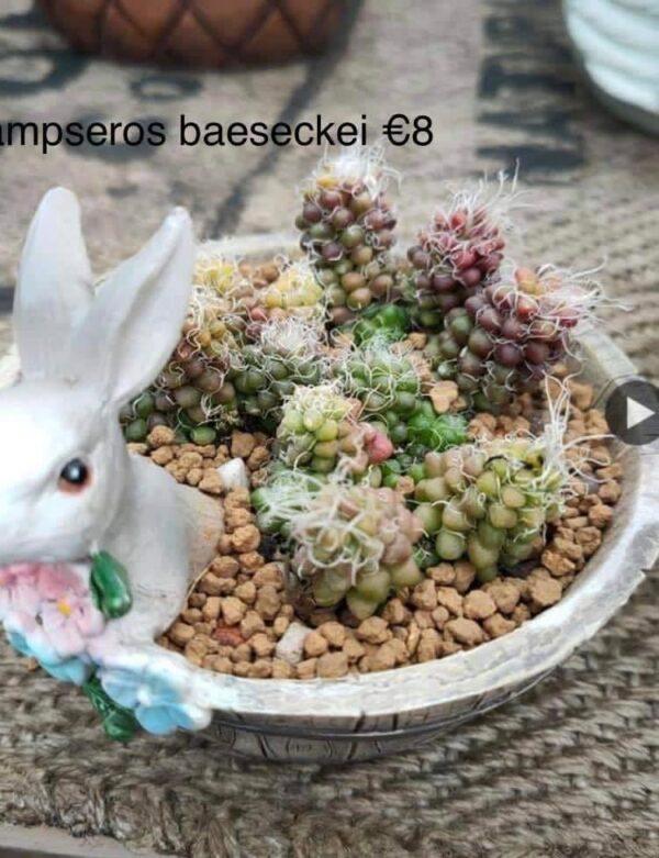 Anacampseros baeseckei