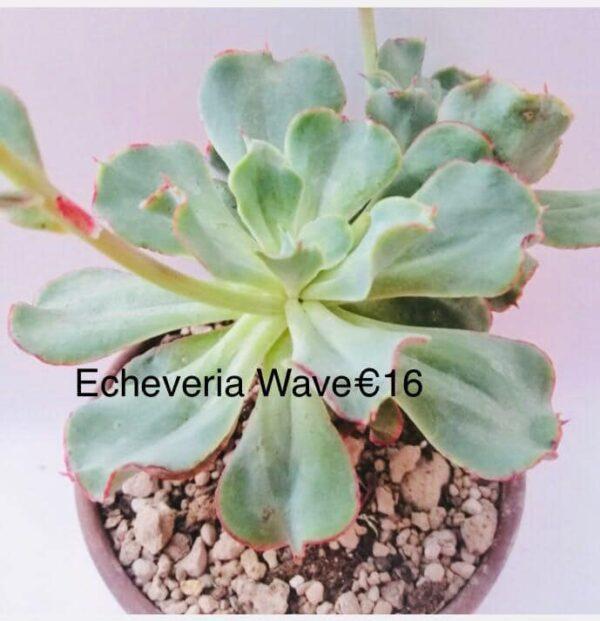 Echeveria wave