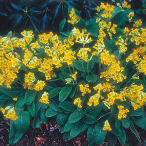 Mr Fothergills Wildflower Cowslip Seeds