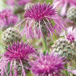 Greater Knapweed Seeds