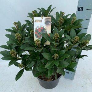 Skimmia japonica 'Pabella'