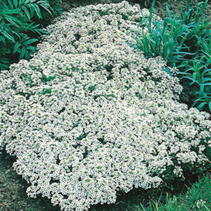 Alyssum Snow Cloth Seeds