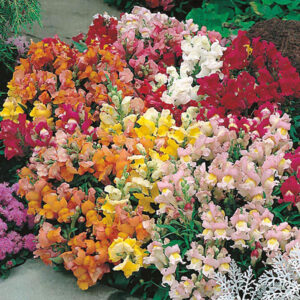 Antirrhinum Tom Thumb Mixed Seeds