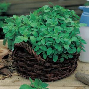 Basil Lemon Seeds